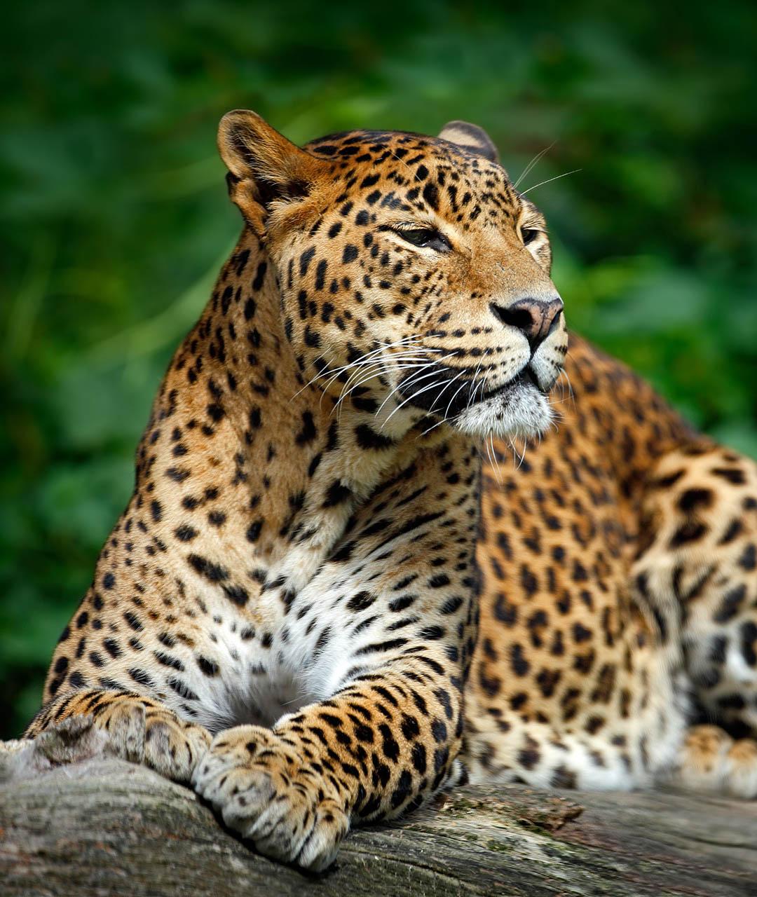 Sri Lankan leopard Wildlife tour