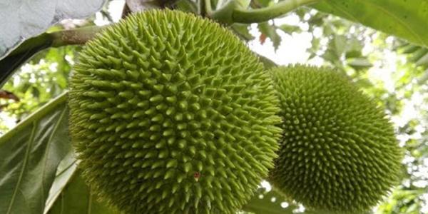 Kosdel (Artocarpus altilis)
